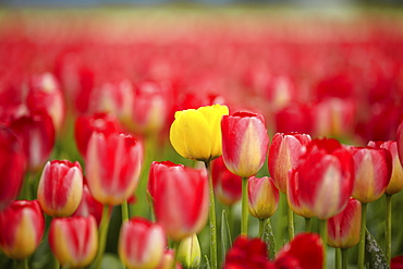 Yellow tulip among red ones