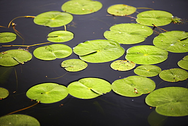 Water lily leaves on surface of pond