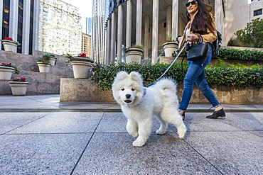 USA, California, San Francisco, Samoyed puppy on walk in city
