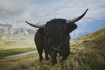 Italy, Dolomite Alps, Highland cattle in pasture in Dolomite Alps