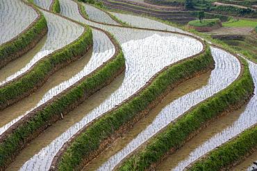 China, Guangxi, Guilin, Longsheng, Terraced rice fields