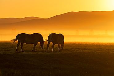 USA, Idaho, Sun Valley, Horses grazing grass at sunset