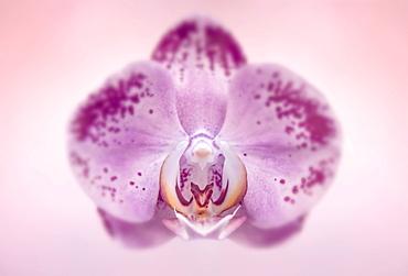 Studio shot pf pink orchid