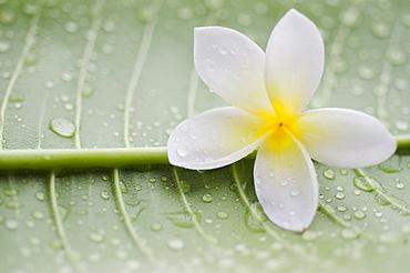 Close-up of plumeria flower