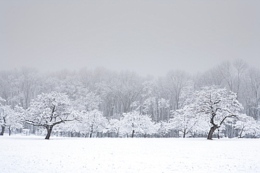 Apple orchard in winter snow