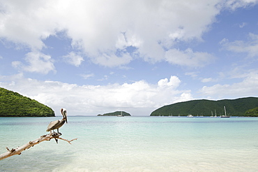 USA, USA Virgin Islands, St. John, Pelican perching on log on tropical beach