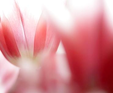 Close-up of defocused pink tulips