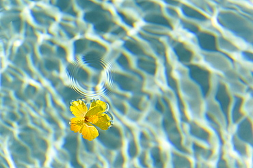 Yellow flower floating on water surface