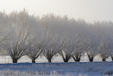 United States, Idaho, Bellevue, Row of frosty trees