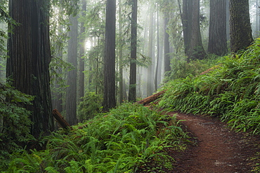 United States, California, Path in fogy, green forest