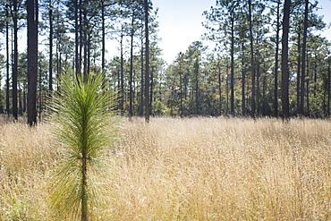 United States, North Carolina, Hampstead, Holly Shelter Game Lands, Longleaf Pine seedling growing in forest