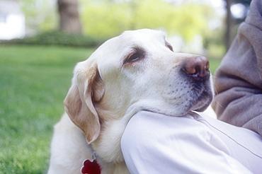 Close-up of Labrador Retriever resting head on woman's knee