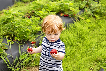Toddler outdoors, holding strawberries