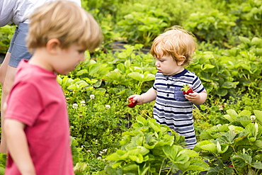 Mother and young sons picking strawberries
