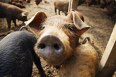 Pigs on farm, close-up