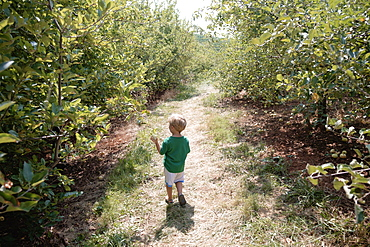 Rear view of boy searching between apple trees on fruit farm