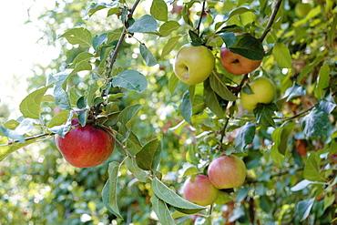 Ripe apples on orchard tree on fruit farm