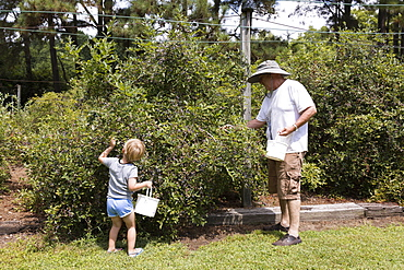 Boy and grandfather picking blueberries at fruit farm