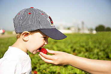 Hand of mother feeding strawberry to toddler son in strawberry field