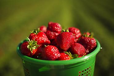 Full basket of ripe strawberries in strawberry field