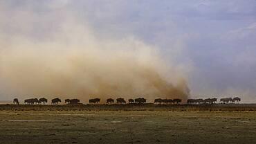 Africa, Kenya, Wildebeests walking on savannah in Amboseli National Park