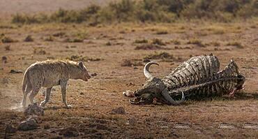 Africa, Kenya, Amboseli National Park, Spotted Hyena (Crocuta crocuta) approaching buffalo carcass