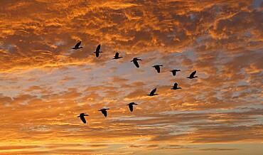 Egyptian Goose (Alopochen aegyptiaca) flying in V-formation against clouds at sunset