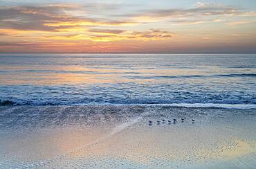 USA, Florida, Boca Raton, Small shore birds walking along beach at sunrise