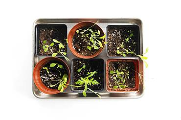 Overhead view tray with small pots with seedlings