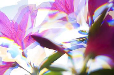 Close-up of pink azalea flowers in sunlight