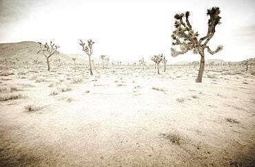 California, Twentynine Palms, Joshua Tree National Park, Joshua trees in desert landscape