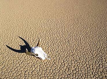 California, Death Valley, Buffalo skull in desert in Monument valley