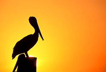 Silhouette of pelican perching on post against orange sky at sunset