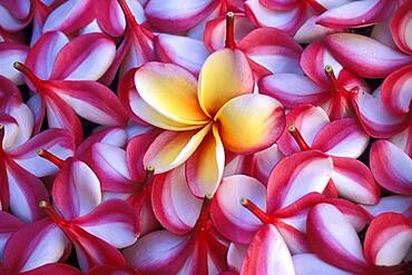 Close-up of frangipani flowers