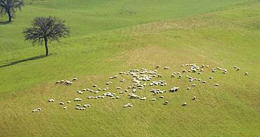 Italy, Tuscany, Val D'Orcia, Aerial view of flock of sheep in green field