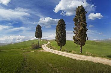 Italy, Tuscany, Val D'Orcia, Cypresses at dirt road crossing green fields