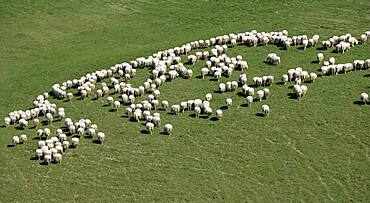 Italy, Tuscany, High angle view of flock of sheep grazing in green field