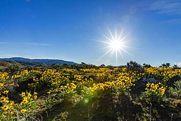 USA, Idaho, Boise, Sun shining above field of arrowleaf balsamroot (Balsamorhiza sagittata)