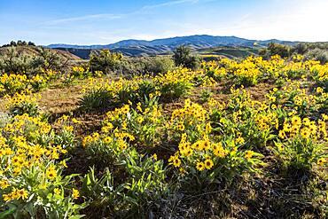 USA, Idaho, Boise, Field of arrowleaf balsamroot (Balsamorhiza sagittata)