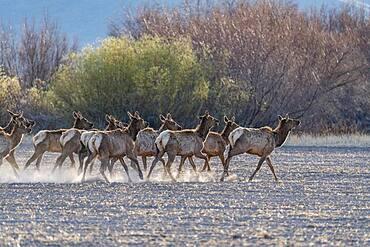 USA, Idaho, Bellevue, Herd of elks (Cervus canadensis) crossing plowed pasture near Sun Valley