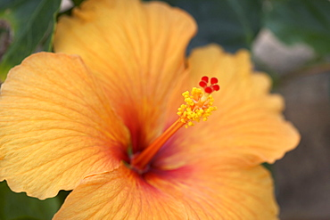Closeup of hibiscus flower