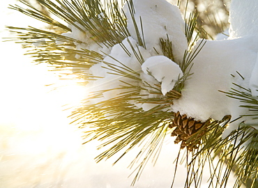 Closeup of snow covered pine bough