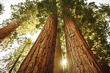 Usa, California, Low angle view of sequoias in forest