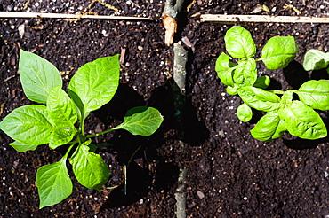 Seedlings in garden