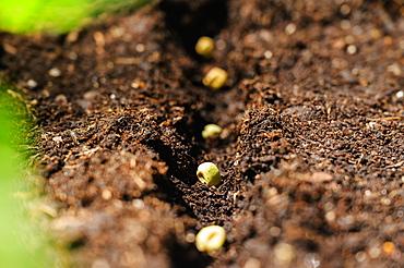 Bean seeds in soil