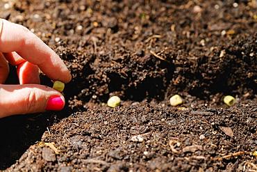 Woman planting bean seeds