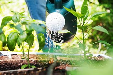 Woman watering plants in vegetable garden
