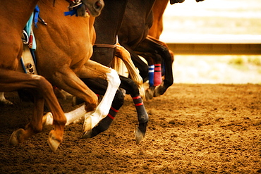 Legs of race horses running side by side on horse racing track during competition