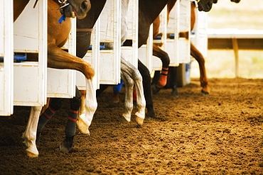 Legs of race horses taking their first step out of starting gate during race