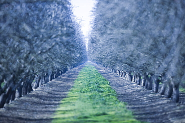 Path through rows of mature almond trees in early spring Almond Orchard